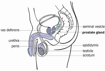 prostate-diagram